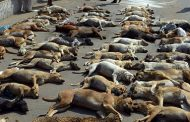 مسئول واحد خدمات شهری شهرداری مسجدسلیمان: ۸۰ قلاده سگ طبق قوانین بهداشتی اتلاف و دفع گردید.